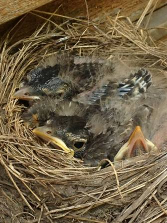 Crabby Baby Birds