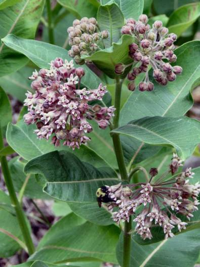 Milkweed and Bumble